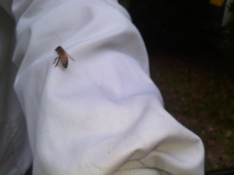 One of my Fall bees inspecting me.