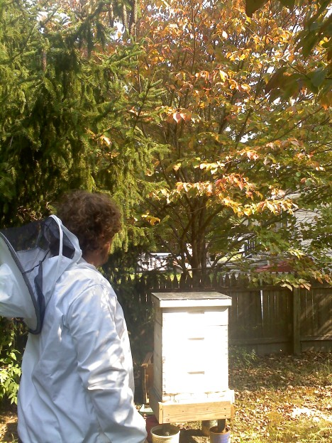 My hive rests under a Dogwood tree, in late Septemeber