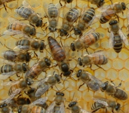 Major Types of Honeybees | Backyard Buzz - photo#15